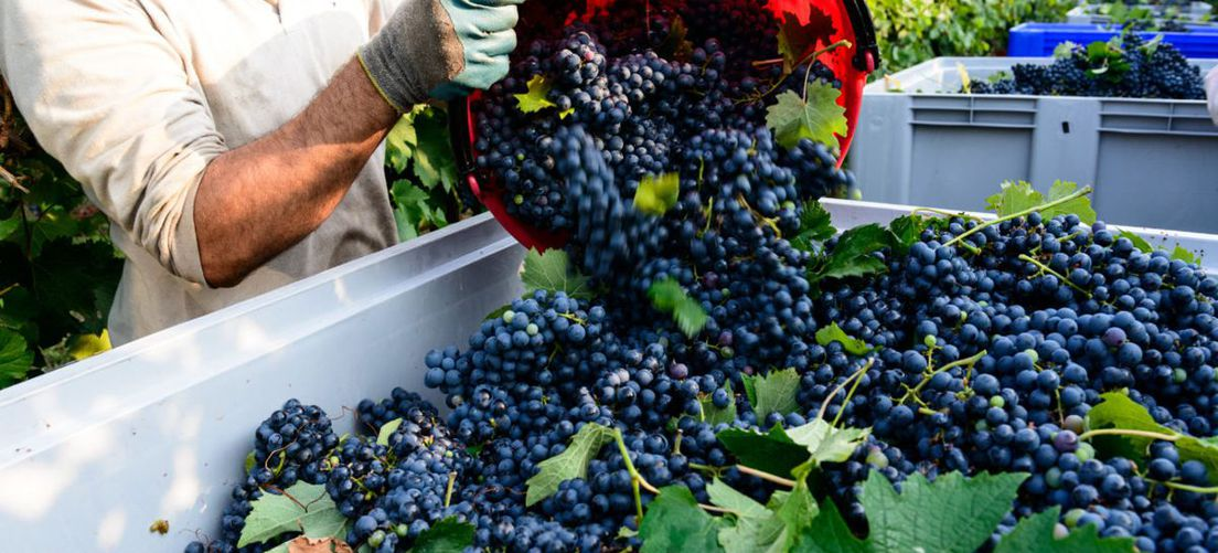How did the 2020 harvest go in the Langhe?